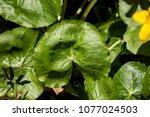 caltha palustris leaf  marsh...   Shutterstock . vector #1077024503