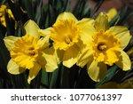 beautiful spring daffodils | Shutterstock . vector #1077061397