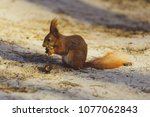 squirrel gnaws  eats a nut in... | Shutterstock . vector #1077062843