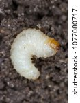 Small photo of Larva of Otiorhynchus (sometimes Otiorrhynchus) Curculionidae removed from the soil. Many of them e.i. black vine weevil (O. sulcatus) or strawberry root weevil (O. ovatus) are important pests.