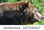 the grizzly bear also known as...   Shutterstock . vector #1077135317