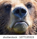 the grizzly bear also known as...   Shutterstock . vector #1077135323