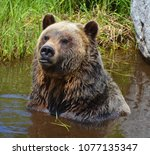 the grizzly bear also known as...   Shutterstock . vector #1077135347