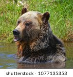 the grizzly bear also known as...   Shutterstock . vector #1077135353