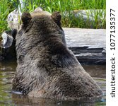 the grizzly bear also known as...   Shutterstock . vector #1077135377