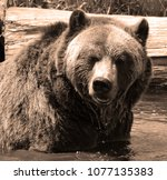 the grizzly bear also known as...   Shutterstock . vector #1077135383