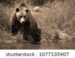 the grizzly bear also known as...   Shutterstock . vector #1077135407