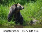 the grizzly bear also known as...   Shutterstock . vector #1077135413