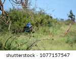 Small photo of Lilac breasted roller landing to perch on a branch.