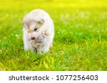Stock photo playful puppy with kitten on summer green grass at sunset space for text 1077256403