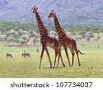 Two Maasai Giraffes In Crater...