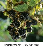 Bunch of blackberries, close-up - stock photo