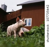 Piglets, low angle view - stock photo