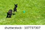 Stock photo black miniature poodle and toy poodle puppy playing ball in the summer 107737307