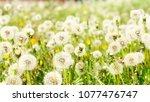 dandelions close up on field...   Shutterstock . vector #1077476747