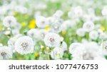 dandelions close up on field... | Shutterstock . vector #1077476753