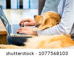 Stock photo pet laying in the lap of the owner who is typing on laptop 1077568103