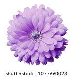 calendula flower light violet... | Shutterstock . vector #1077660023