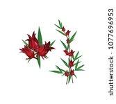 hibiscus sabdariffa or roselle... | Shutterstock .eps vector #1077696953