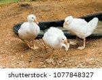 Three Funny White Goose  One...