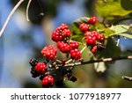 blackberry in nature | Shutterstock . vector #1077918977
