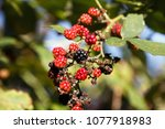 blackberry in nature | Shutterstock . vector #1077918983