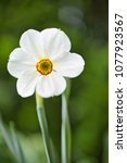 Small photo of Narcissus actaea, spring flower
