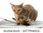 devon rex  cat on white...   Shutterstock . vector #1077946013