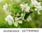 branch with wight and pink... | Shutterstock . vector #1077949403