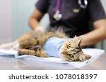 female veterinary doctor puts... | Shutterstock . vector #1078018397