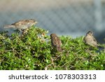 house sparrows  passer... | Shutterstock . vector #1078303313