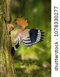 the hoopoe is feeding its chick.... | Shutterstock . vector #1078330277