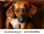 Homeless Mixed Breed Dog Looking Sad in Cardboard Shelter - stock photo