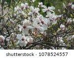 scruffy magnolia. shabby flower ...   Shutterstock . vector #1078524557