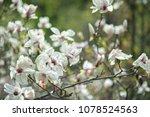 scruffy magnolia. shabby flower ...   Shutterstock . vector #1078524563