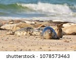 the harbor  or harbour  seal ... | Shutterstock . vector #1078573463