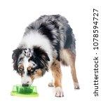 australian shepherd in front of ... | Shutterstock . vector #1078594727