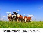 calves on the field | Shutterstock . vector #1078726073