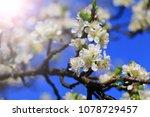 beautiful cherry blossom | Shutterstock . vector #1078729457