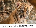 Baby Tiger Face