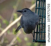 Small photo of A slate-grey catbird clings to suet feeder while keeping an eye out for predators.