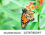 monarch on the flower in the... | Shutterstock . vector #1078780397