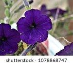 Dark Purple Blue Flower...