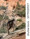 Small photo of Female ewe desert bighorn sheep standing on a rock outcropping