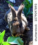 the flemish giant rabbit is a...   Shutterstock . vector #1079097893