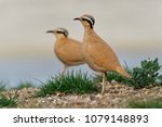 Cream colored courser ...