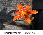 An Orange Lily Blooms In Front...