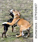Small photo of Young pinscher and hound are in friendly embrace on early spring grass