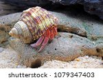 Hermit crabs onthe rocks, Selective focus. Hermit crabs are decapod crustaceans of the superfamily Paguroidea.