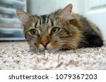 domestic brown tabby cat lying... | Shutterstock . vector #1079367203